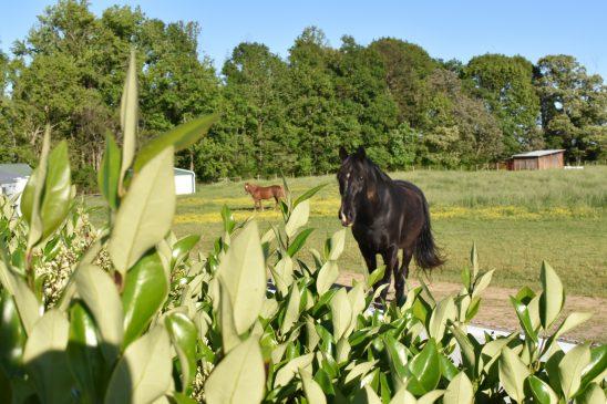Resident Horses